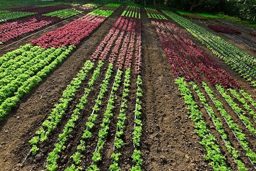 , Insect and Disease Damage to Crops is Significantly Higher in Monoculture than in Polyculture, HSC Projects, HSC Projects